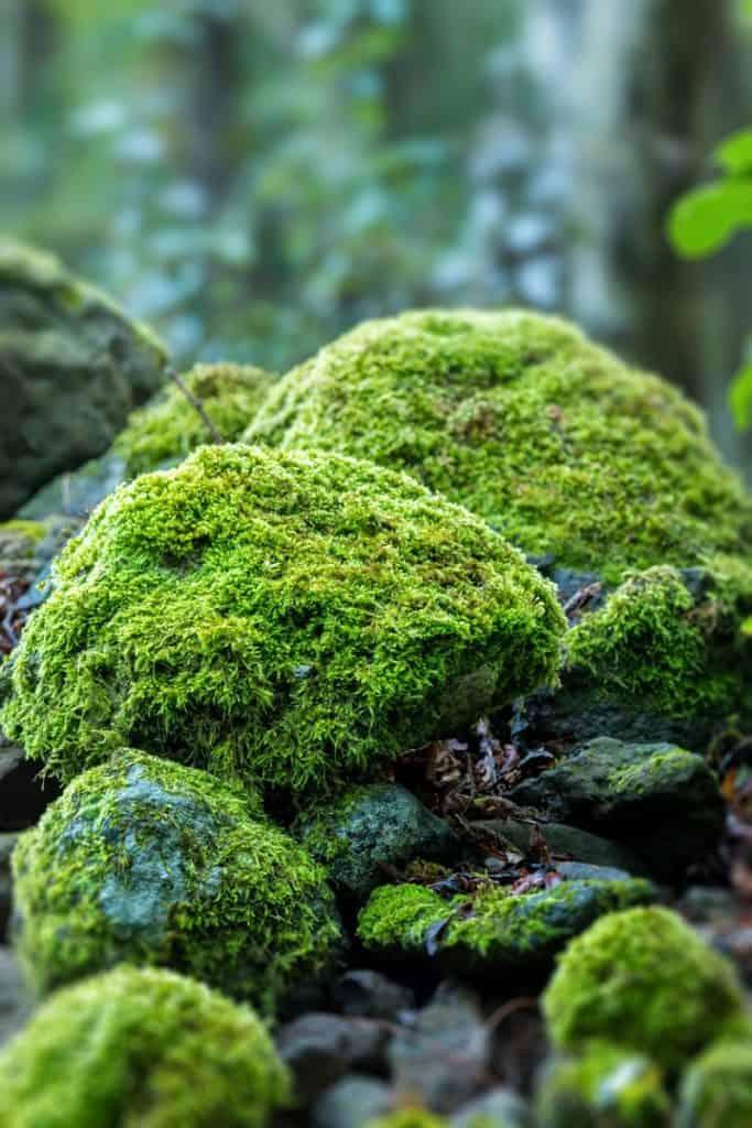 Каменный мох