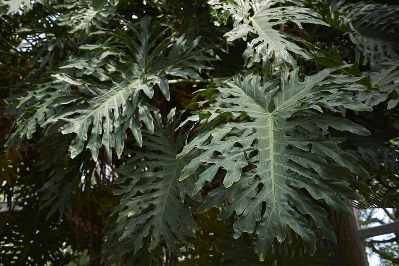 Ажурное дерево Филодендрон