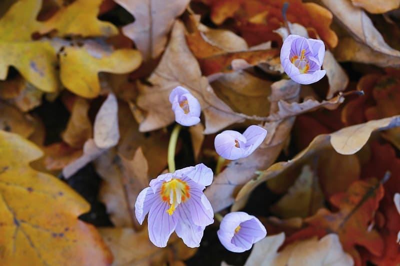 Осенний Крокус