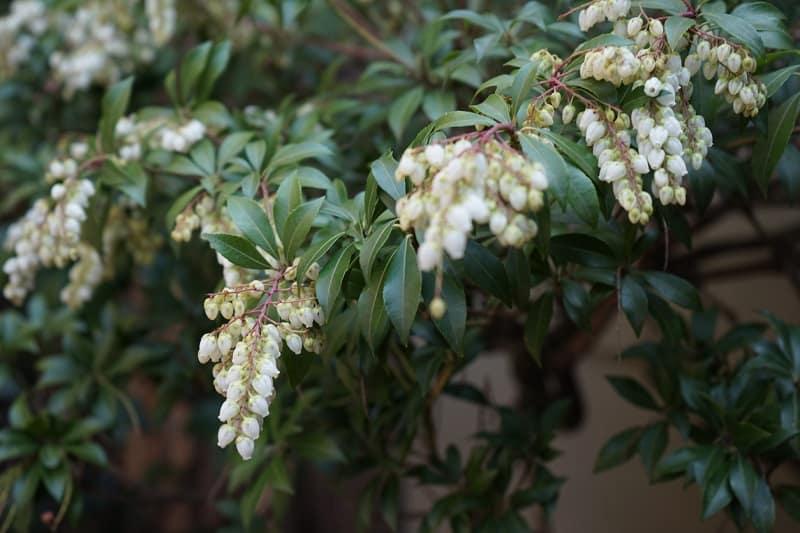 Растение Андромеда Японская