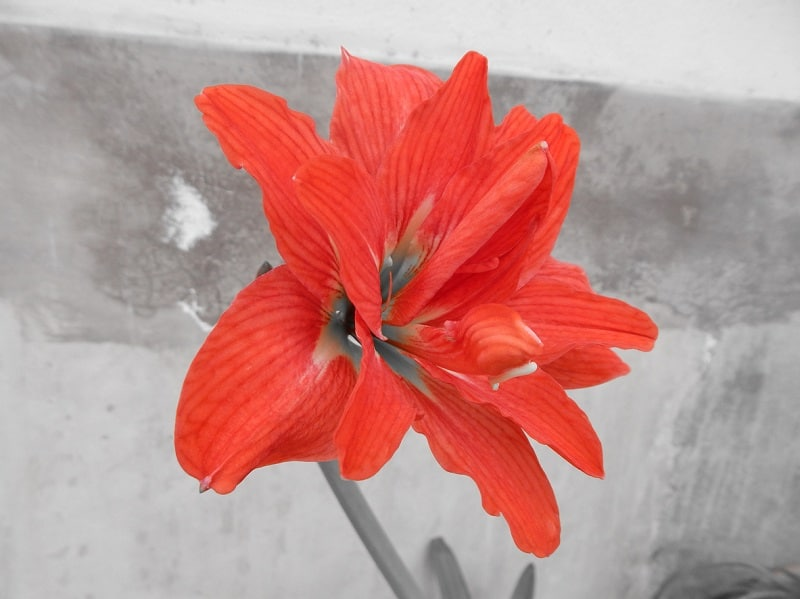 Барбадосская лилия