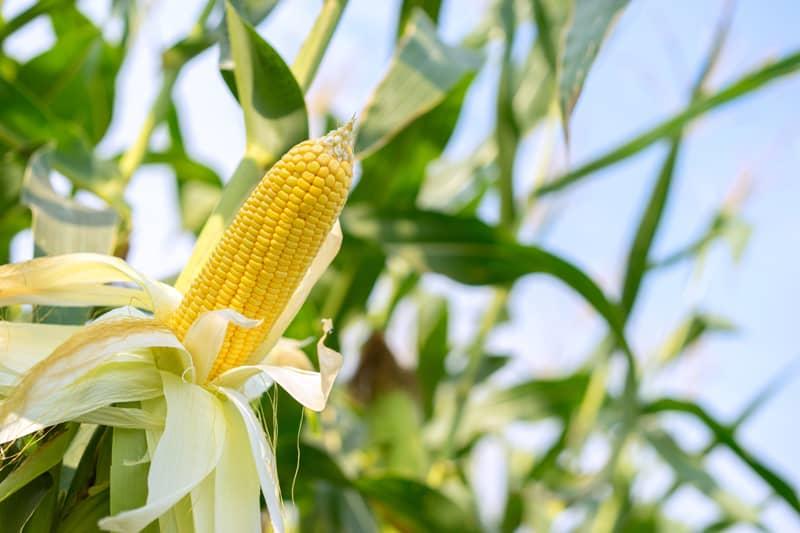 Кукурузный завод
