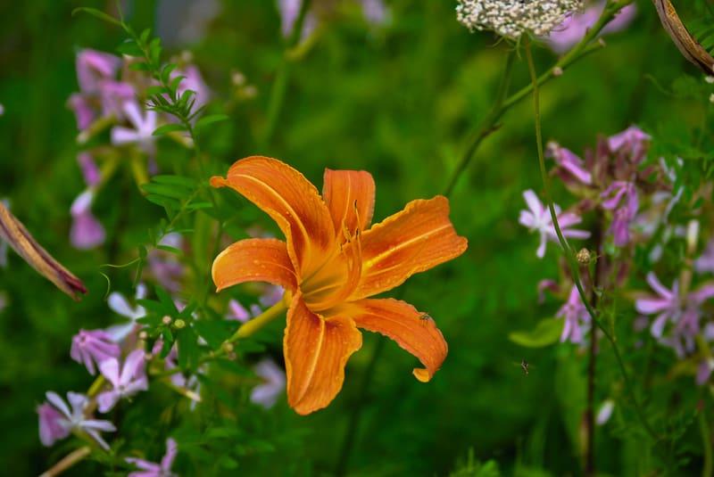 Оранжевая дневная лилия