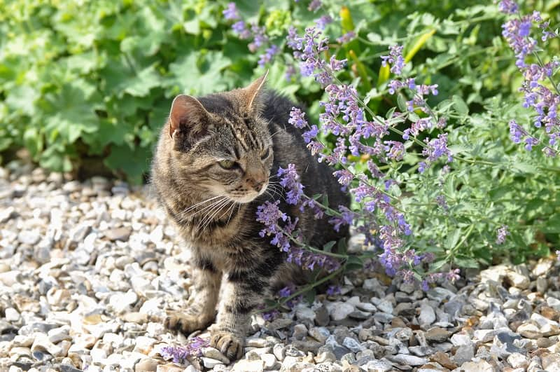 Как часто можно давать кошке кошачью мяту