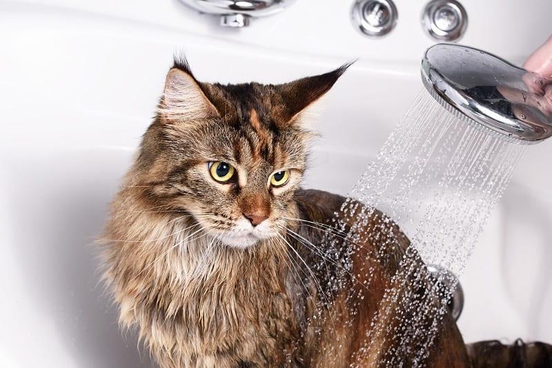 Как часто можно купать кошку от блох?