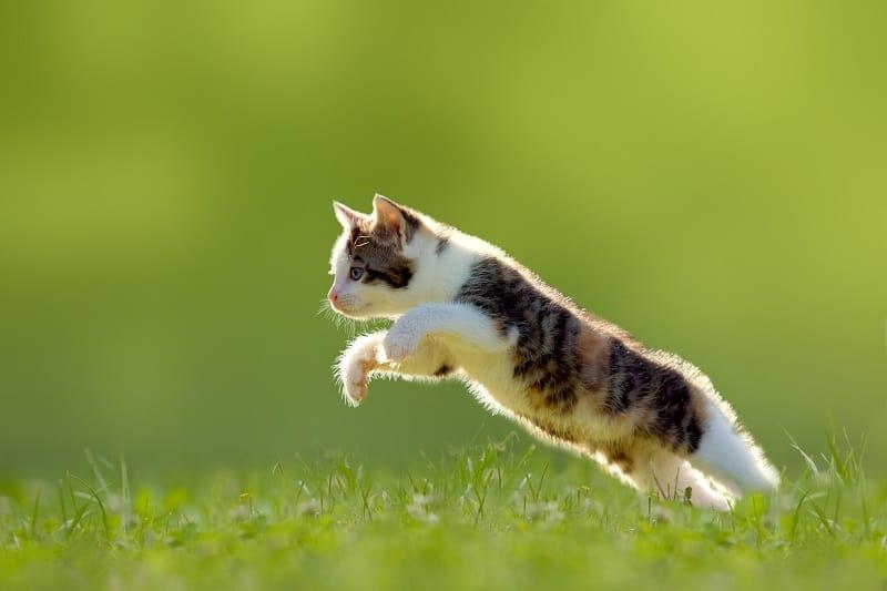 Как далеко может прыгнуть кошка