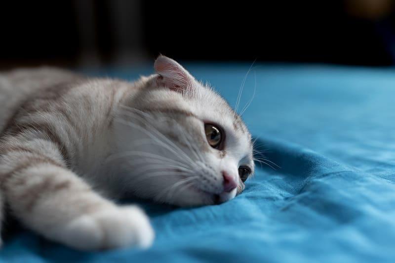 Как долго действует лаксатон для кошек
