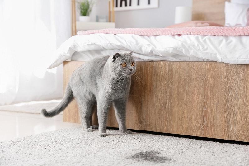 Как долго кошка может не мочиться