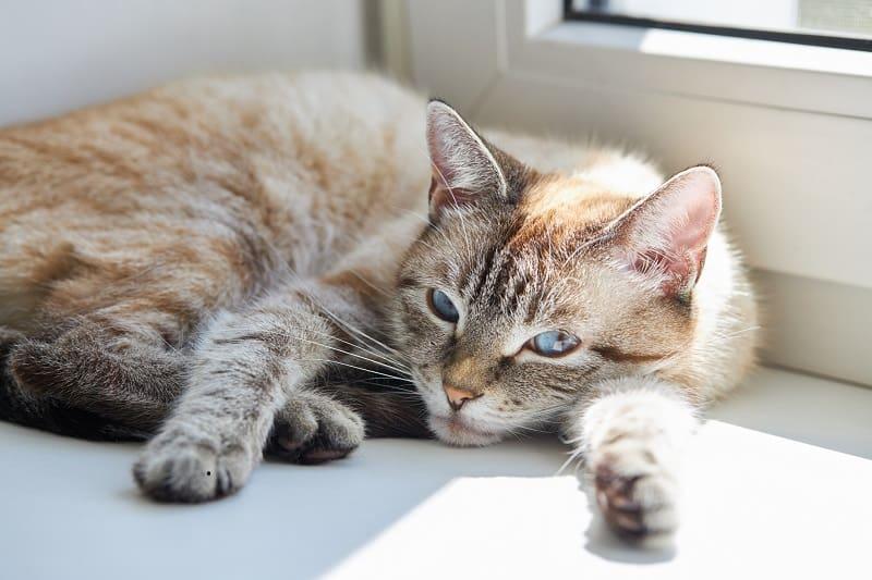 Как долго помещать кошку в карантин со стригущим лишаем?
