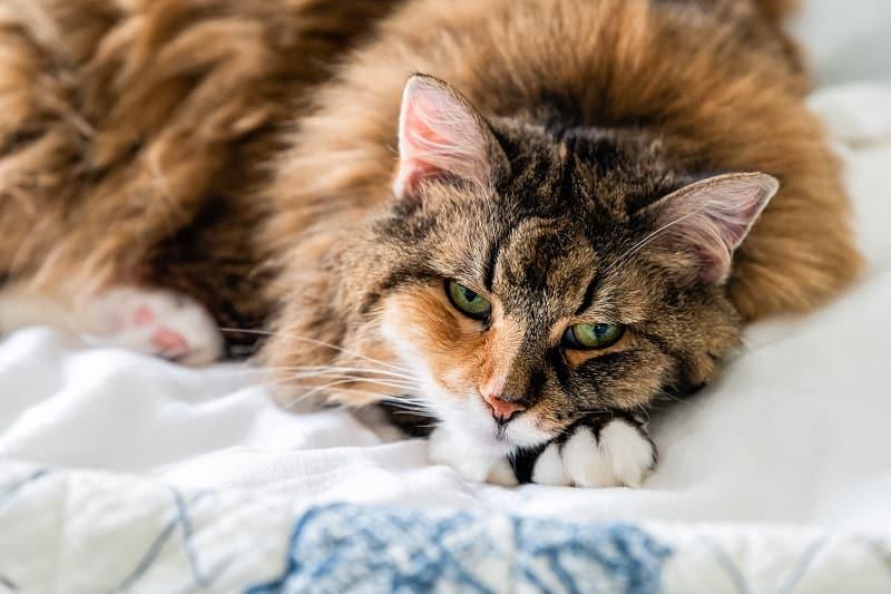 Как долго после лечения блох я могу погладить свою кошку?