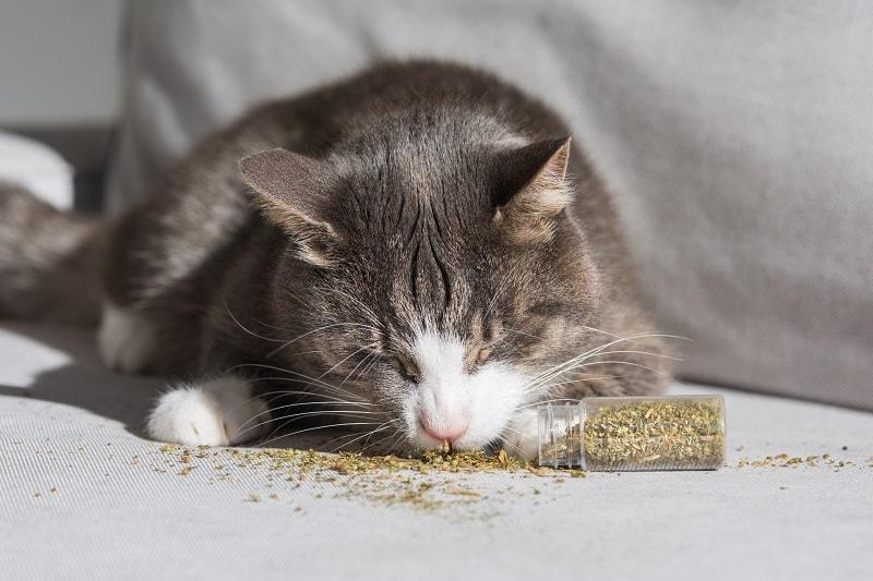 Как долго длится кошачья мята