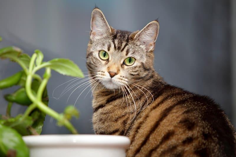 Как долго живут полосатые кошки