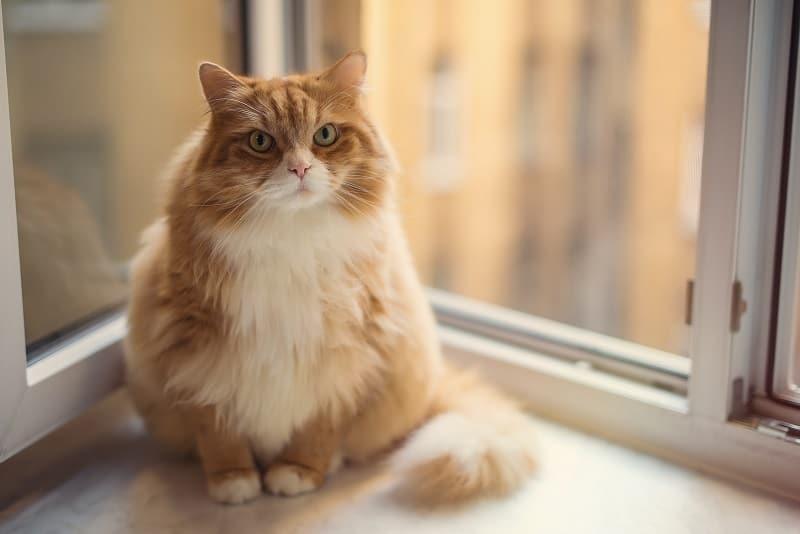Как долго живут толстые кошки