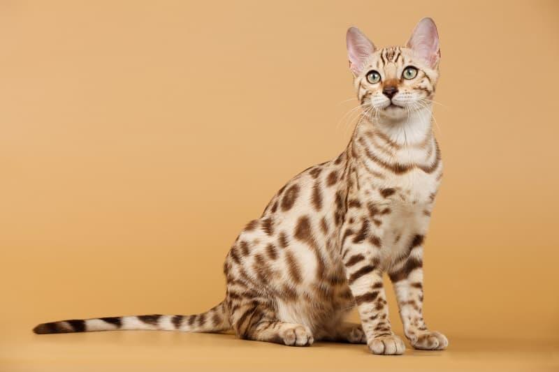 Как определить, что ваша кошка - бенгальский микс