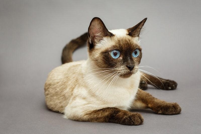 Как определить, что ваша кошка частично сиамская