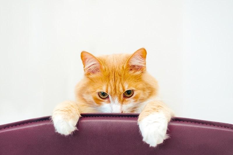 Как отремонтировать кошачьи царапины на коже оливковым маслом?