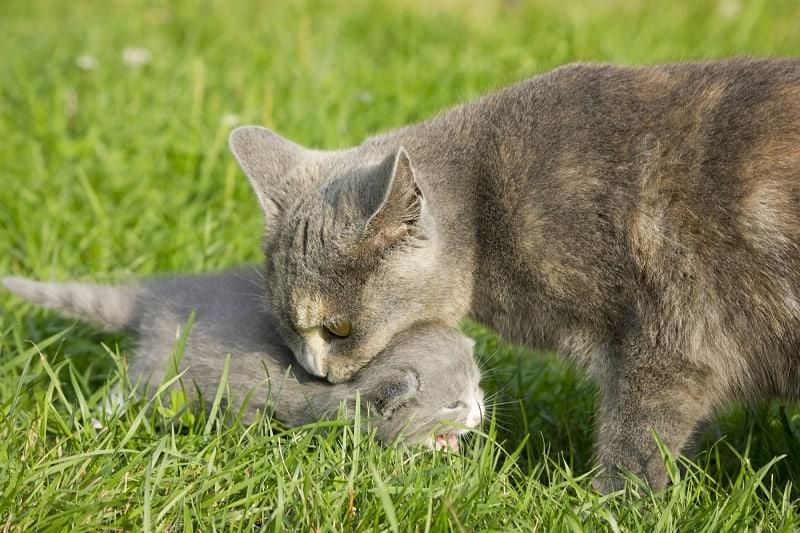 Как отучить кошку переезжать с котятами