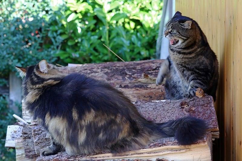 Как познакомить двух кошек, когда одна агрессивна