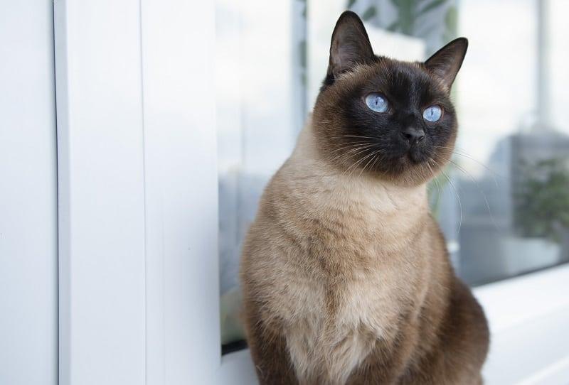 Как приручить сиамскую кошку