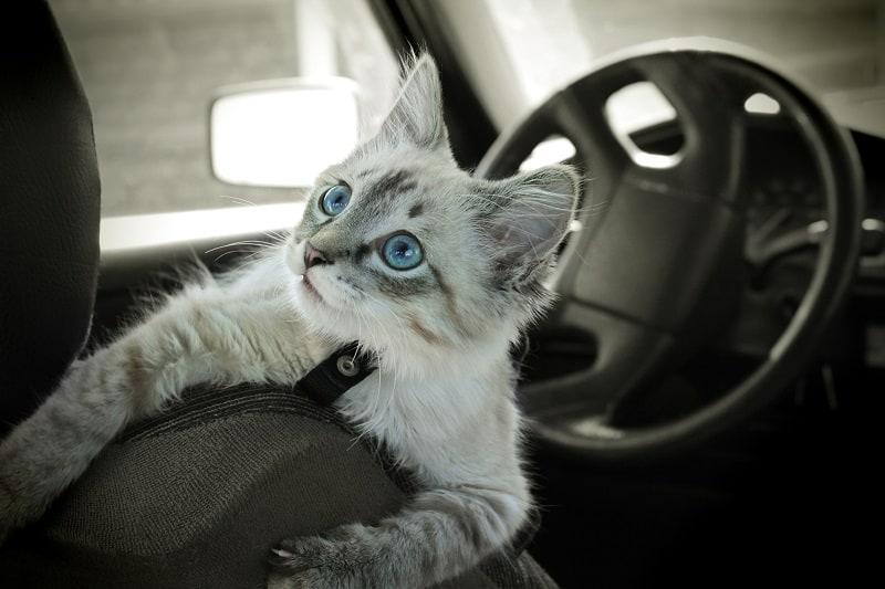 Как путешествовать с кошками в машине на дальние расстояния