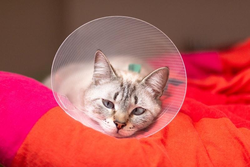 Как сохранить электронный ошейник на кошке