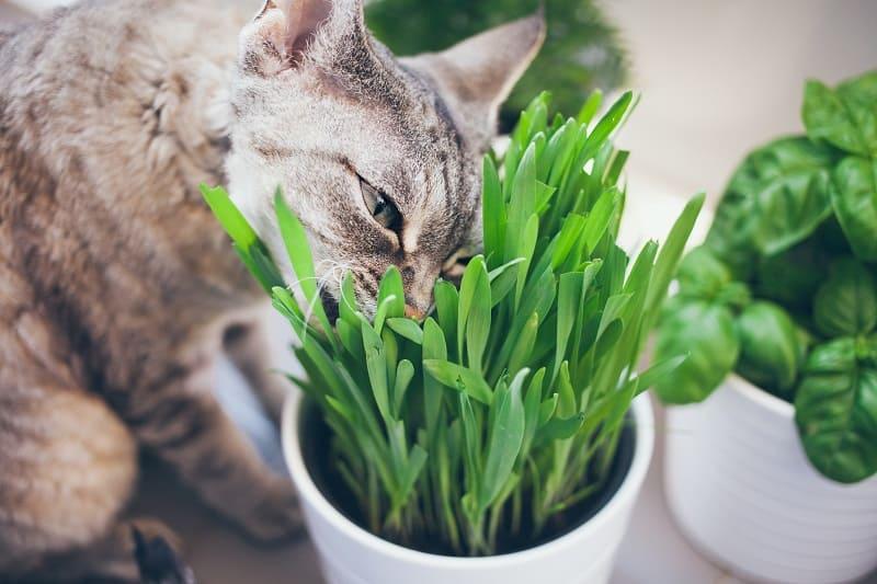 Как сохранить кошачью траву в живых