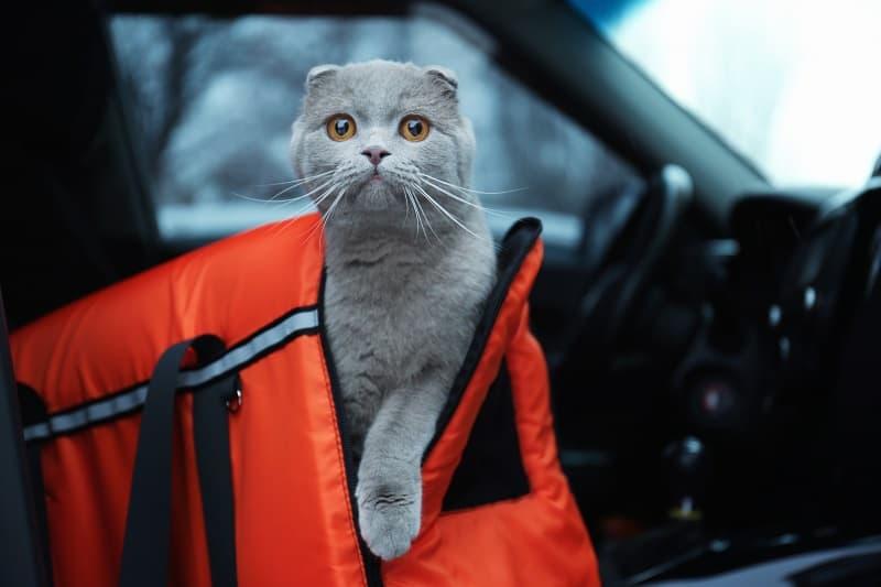 Как успокоить кошку в машине
