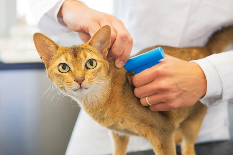 Как узнать, что у кошки есть микрочип?