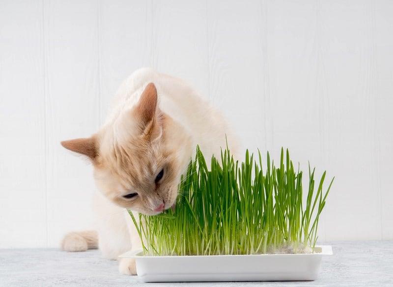 Как вырастить кошачью траву без почвы?