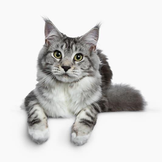 Как заставить кошку носить ошейник?