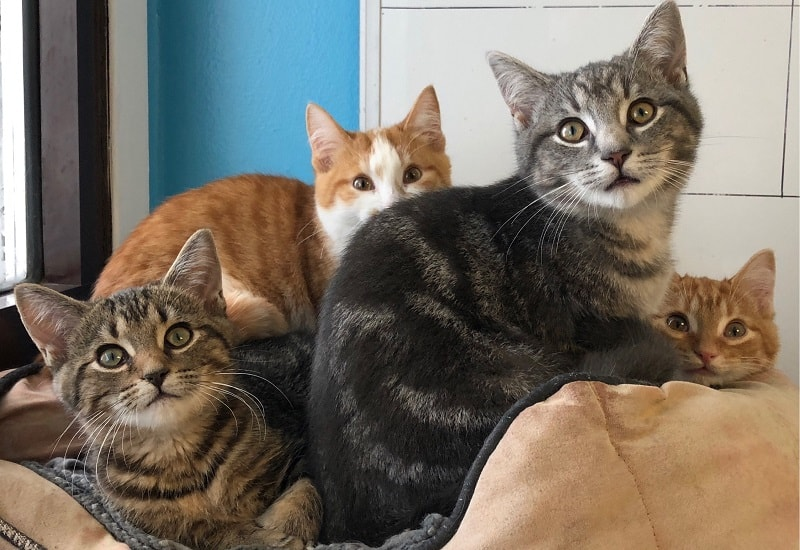 Как заставить кошку похудеть с помощью нескольких кошек?