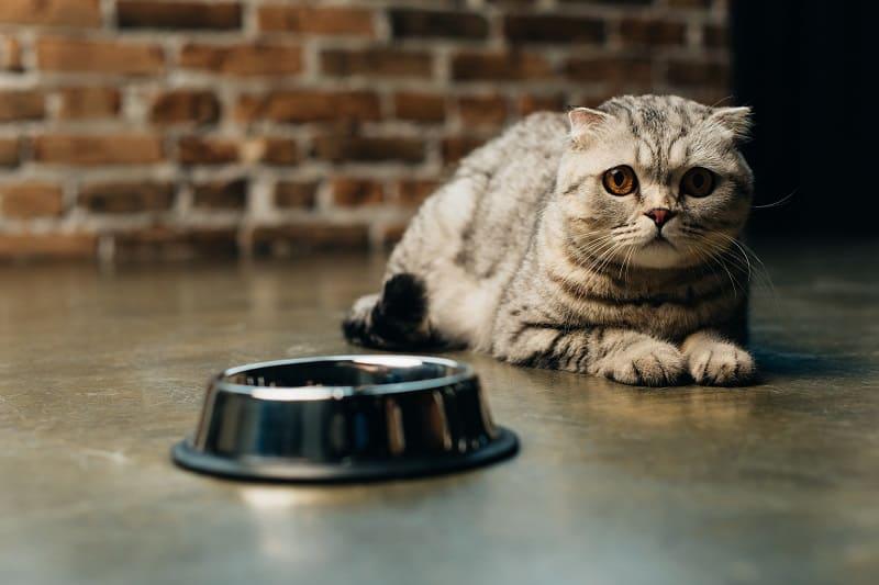 Как приучить кушать анемичную кошку