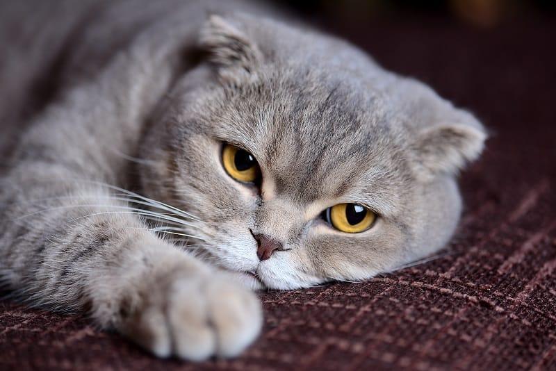 Какие виды глистов заражаются кошками
