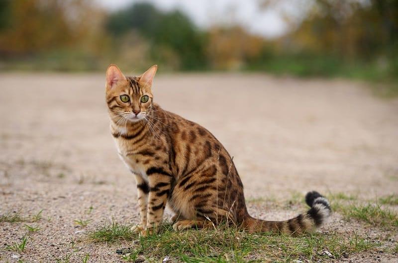 Когда бенгальские кошки перестают расти