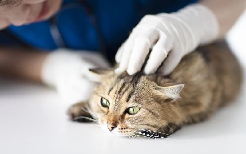 Кошачьи лысины на голове