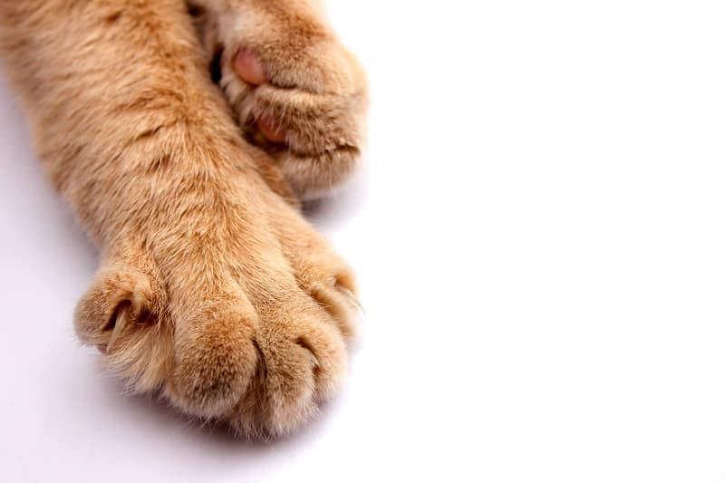 Кошки рогатые лапы
