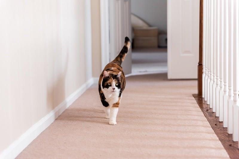 Кошка ходит по комнате