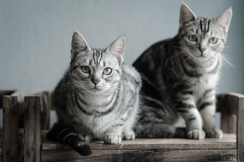 Кошка кусает задницу другой кошки