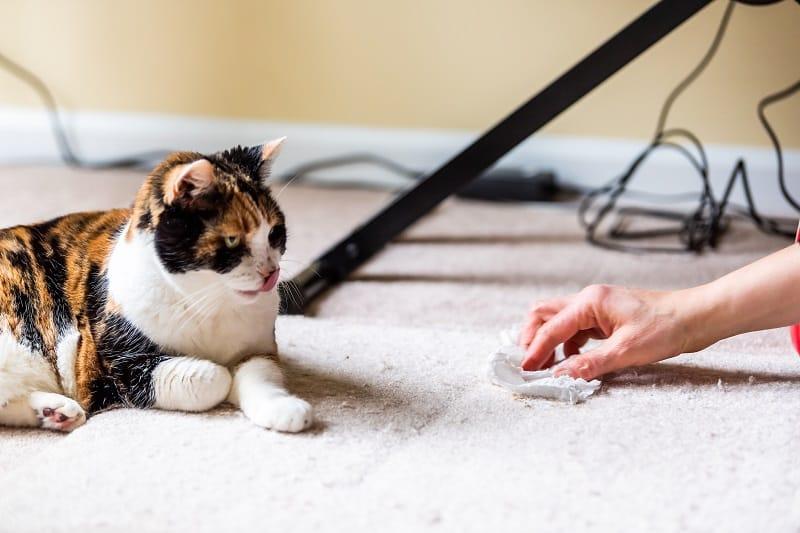Кошка лижет ковер