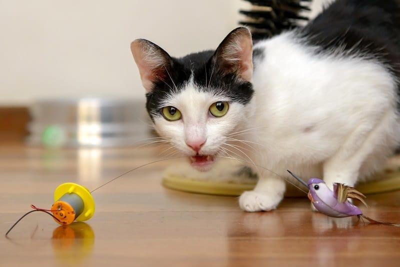 Кошка мяукает во время игры