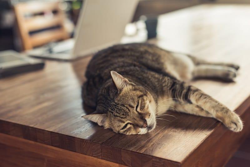 Кошка мурлычет громче, чем обычно