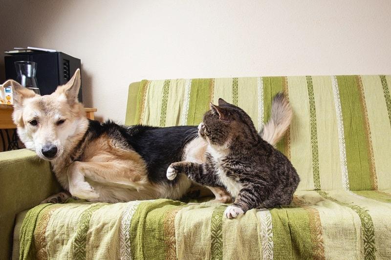 Кошка нападает на собаку неспровоцированно