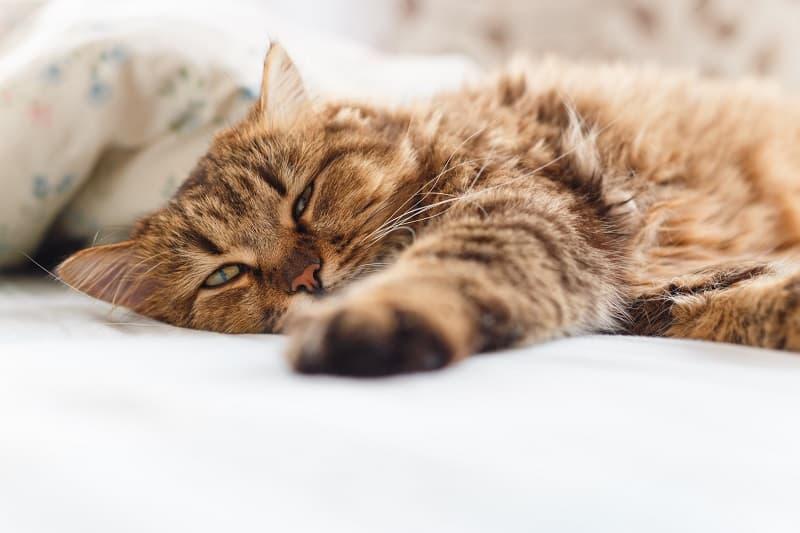 Кошка плохо себя чувствует после прививки