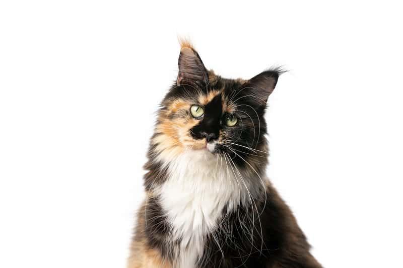 Кошка саванна против мейн-куна