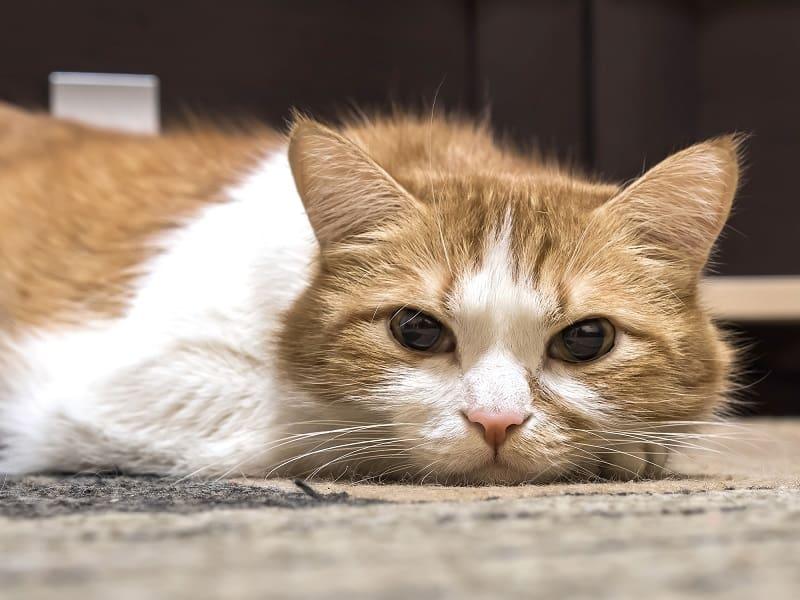 Кошка теряет мышечную массу задних лап