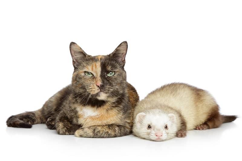 Кошки и хорьки уживаются