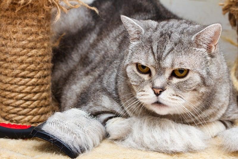 Кошки линяют больше при стрессе