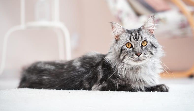 Кошки мейн-кун агрессивны