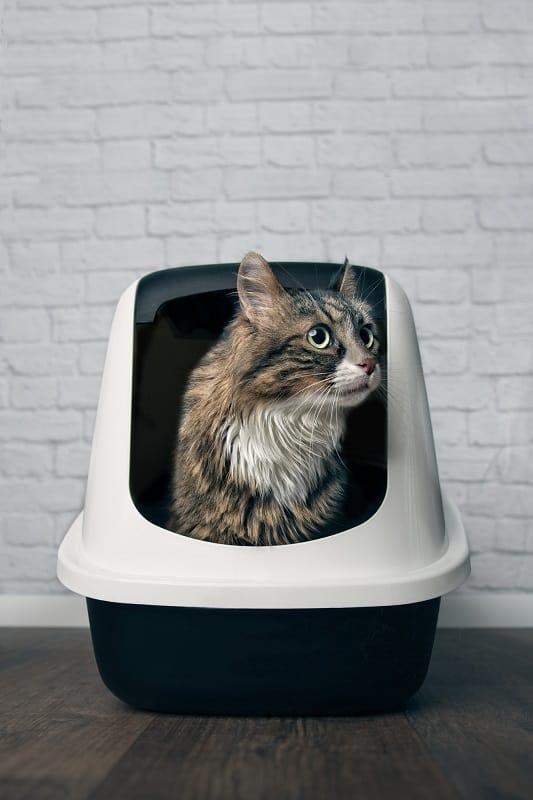 Кошки мейн-кун используют туалетный лоток