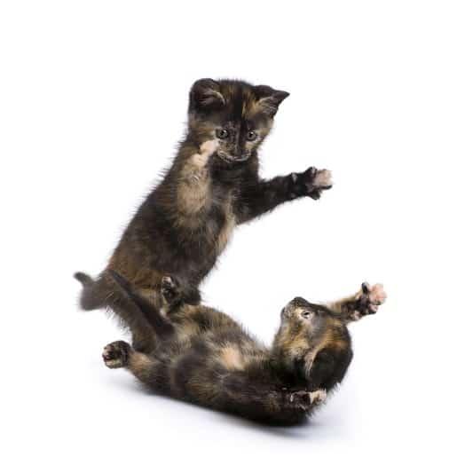 Кошки прихлопывают друг друга